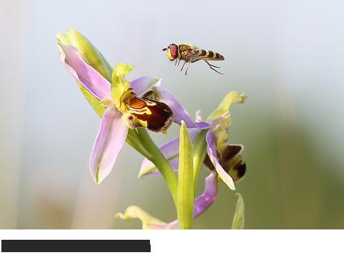 Bienen-Ragwurz Bilder, Fotos, Orchideen,