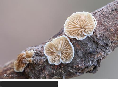 Stummelfüsschen,Bilder, Fotos, Pilze, Baumpilze