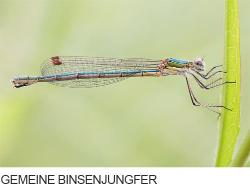 Gemeine Binsenjungfer Bilder, Fotos, Libelle