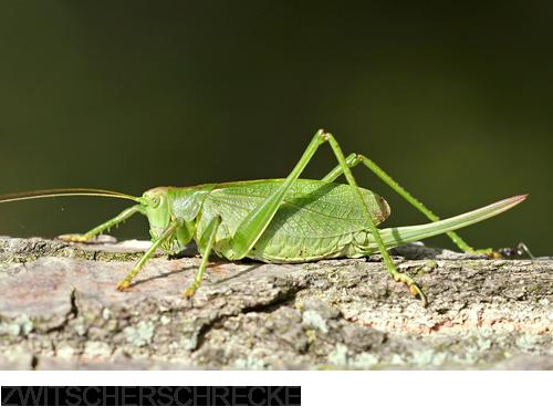 Zwitscherschrecke, Heuschrecken, Bilder, Fotos, Insekten
