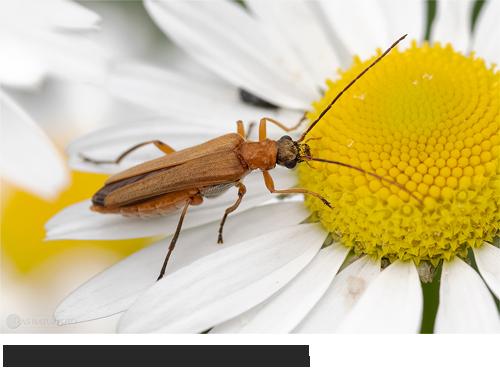 Echter Schenkelkäfer (Oedemera podagrariae) Bilder, Fotos, Käfer, Insekten
