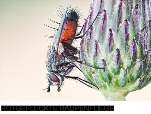 Rotgefleckte Raupenfliege, Bilder, Fotos, Insekten, Fliegen