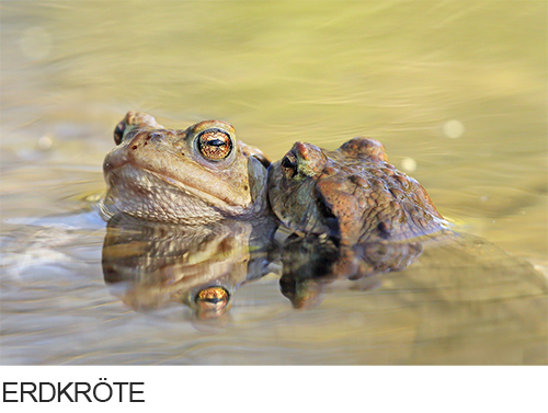 Bilder, Fotos Erdkröte