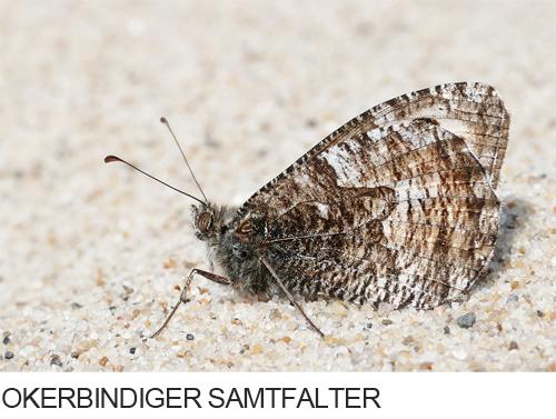 Ockerbindiger Samtfalter Bilder, Fotos, Schmetterling