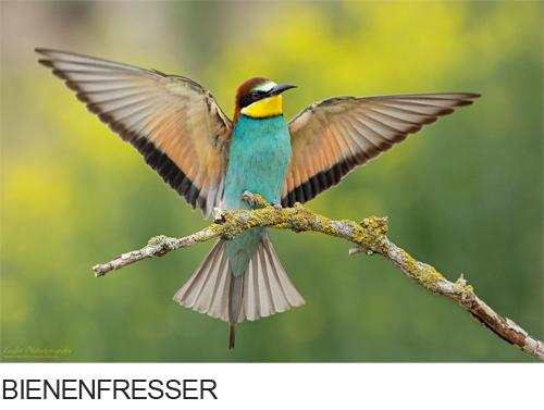 Bilder, Fotos Bienenfresser, Horst und Petra Engler