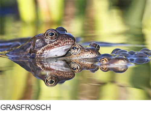 Bilder, Fotos Grasfrosch