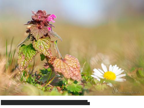 Purpurrote Taubnessel Bilder, Fotos, Taubnesseln,