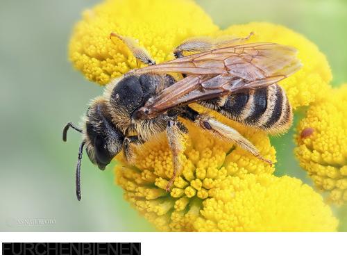 Furchenbienen, Bilder, Fotos,