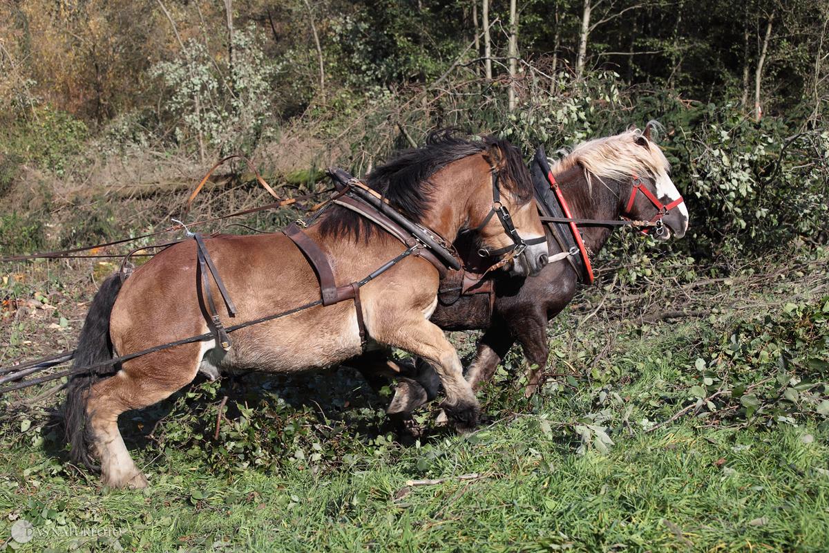 18. Oktober 2010 - Holzrückepferde in Aktion