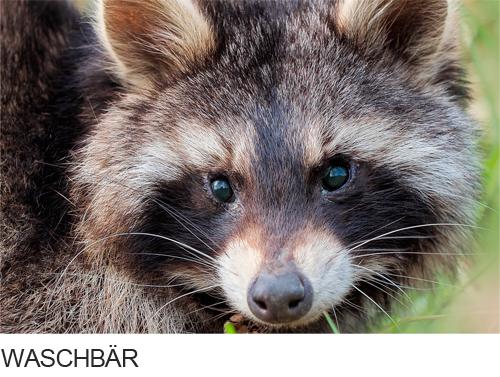 Waschbär Bilder, Fotos, Säugetiere