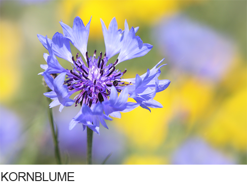 Kornblume Bilder, Fotos, Zyane, Ackerbegleitpflanzen