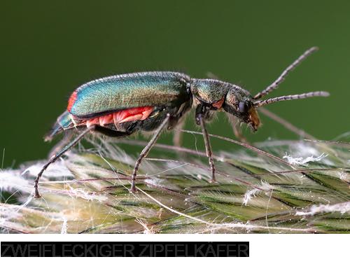 Zweifleckiger Zipfelkäfer Bilder, Fotos, Käfer, Wanzen