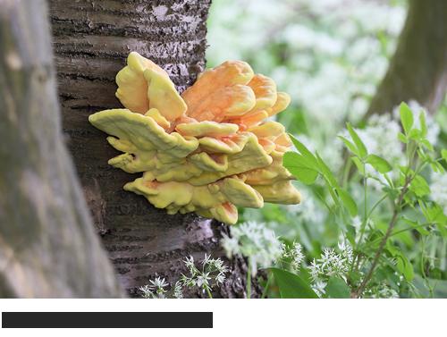 Schwefelporling Bilder, Fotos, Pilze, Baumpilze