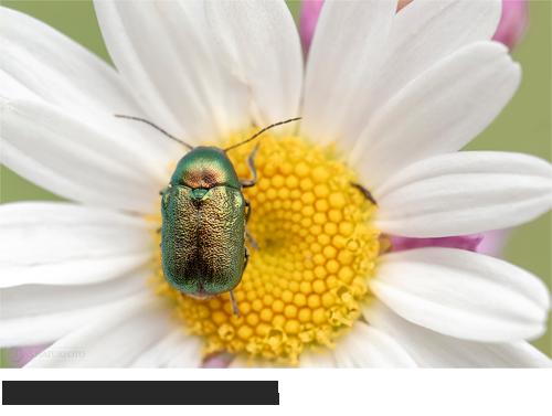 Seidiger Fallkäfer Bilder, Fotos, Käfer, Wanzen