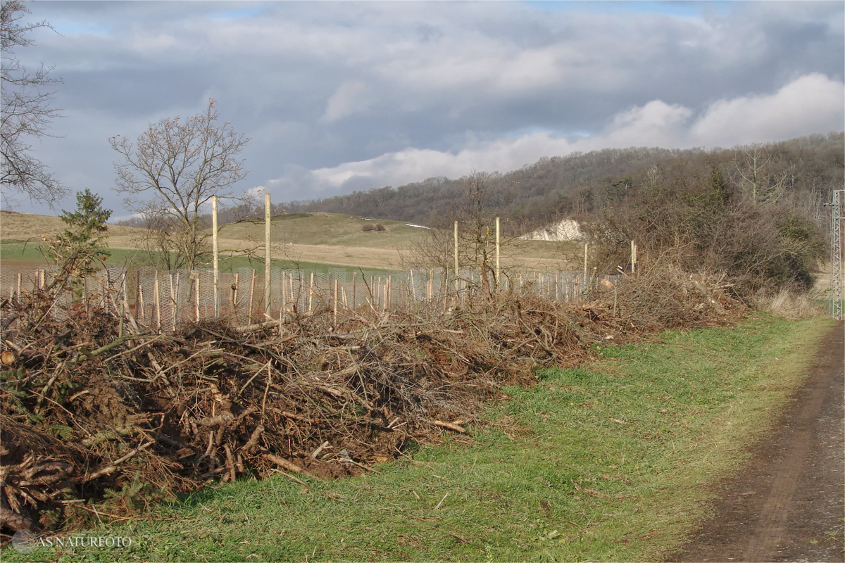 27. November 2008 - 3 reihige Gehölzpflanzung auf dem Osthang der Gipskuhle