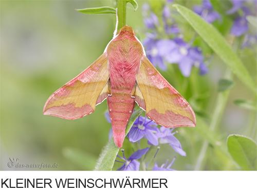 Kleiner Weinschwärmer Bilder, Fotos, Schmetterling
