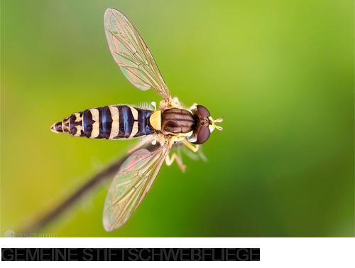 Gemeine Stiftschwebfliege, Fliegen, Bilder, Fotos, Insekten