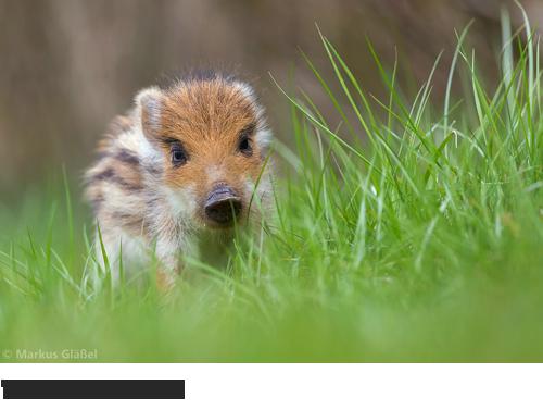 Wildschwein Bilder, Fotos, Säugetiere