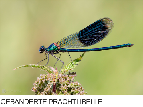 Gebänderte Prachtlibelle Bilder, Fotos, Libelle