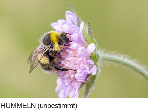 Hummeln Bilder, Fotos, Bienen, Hummeln und Wespen