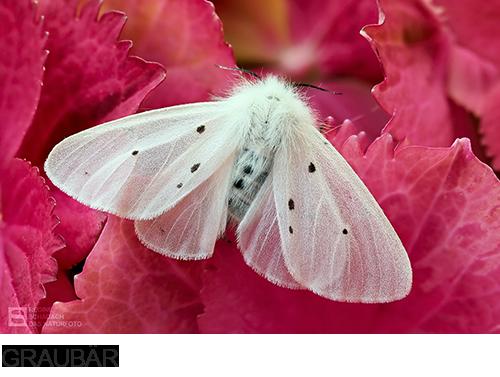 Graubär, Schmetterling, Fotos, Bilder