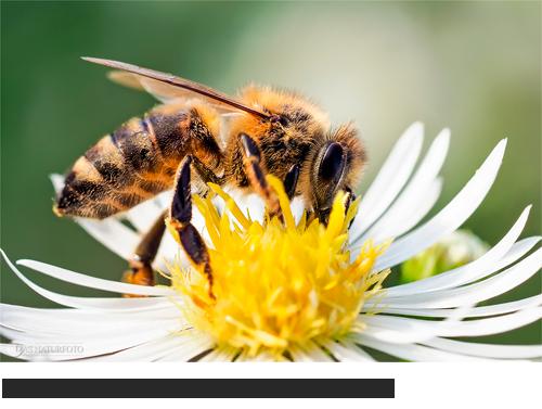 Bilder, Fotos Bienen & Hummeln & Wespen