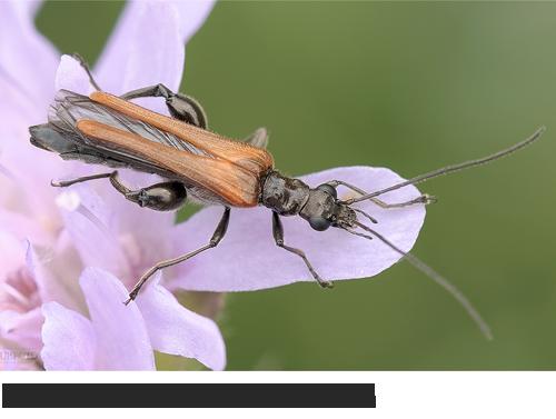 Gemeiner Schenkelkäfer (Oedemera femorata) , Bilder, Fotos, Käfer