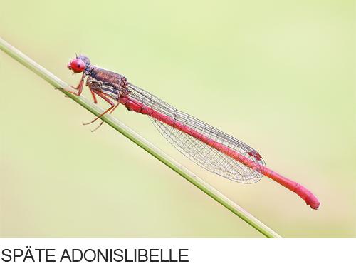 Späte Adonislibelle, Zarte Rubinjungfer Bilder, Fotos, Libelle