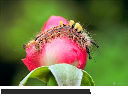 Schlehen-Bürstenspinner Bilder, Fotos, Schmetterling