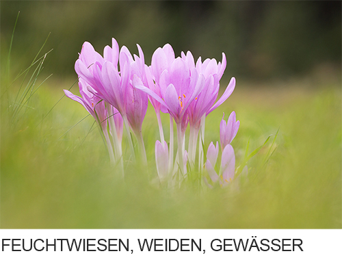 Pflanzen auf Feuchtstandorte, Wiesen, Weiden, Gewässer, Feuchtgebiete, Wasserpflanzen,  Fotogalerie, Bilder, Fotos
