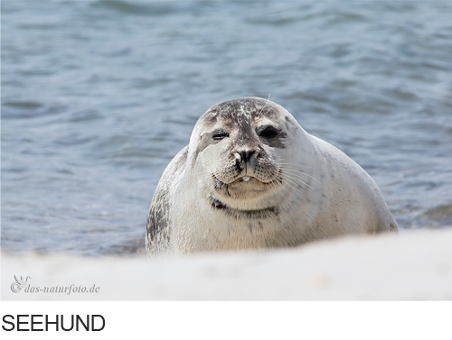 Seehund Bilder, Fotos, Säugetiere