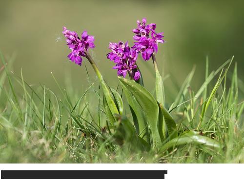 Stattliches Knabenkraut, Manns-Knabenkraut, Bilder, Fotos, Orchideen,