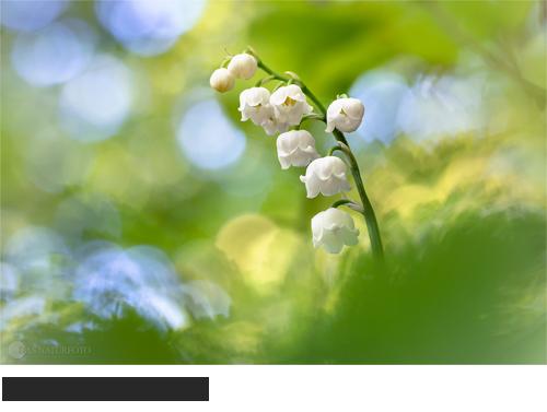 Maiglöckchen, Bilder, Fotos, Frühblüher