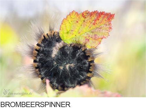 Brombeerspinner Bilder, Fotos