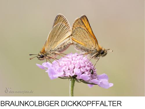 Braunkolbiger Braun-Dickkopffalter Bilder, Fotos