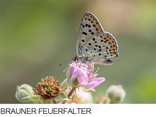 Brauner Feuerfalter Bilder, Fotos