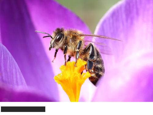 Honigbiene Bilder, Fotos, Bienen, Hummeln und Wespen