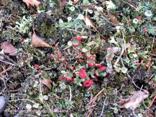 Cladonia macilenta ssp. floerkeana (Fr.) Wirth - Rote Liste 3