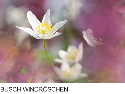 Busch-Windröschen, Bilder, Fotos, Frühblüher, Waldpflanze