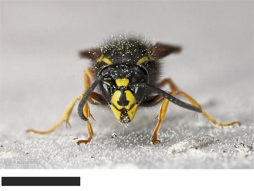 Rote Wespe, Bilder, Fotos, Bienen, Hummeln, Wespen, Insektem