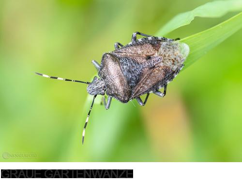 Graue Gartenwanze, Bilder, Fotos, Käfer, Wanzen