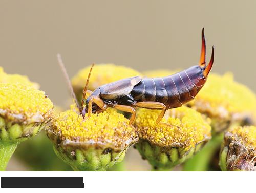 Ohrwürmer, Bilder, Fotos, Insekten,