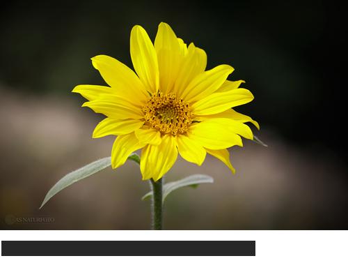 Gewöhnliche Sonnenblume Bilder, Fotos, Sonnenblume