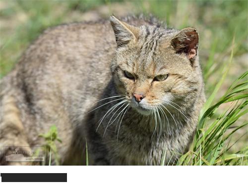 Wildkatze Bilder, Fotos, Säugetiere, Katzen