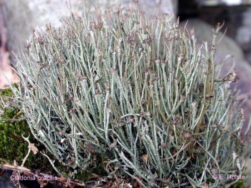 Cladonia gracilis (L.) Willd. - Rote Liste 3