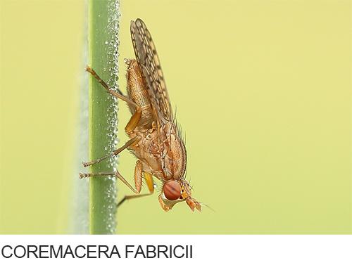 Coremacera Fabricii Bilder, Fotos, Heuschrecken, Fliegen und andere Insekten