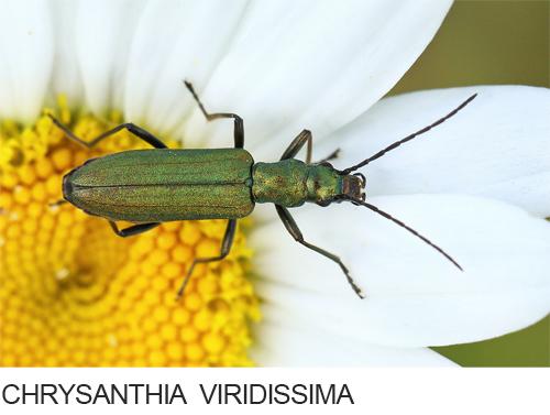 Chrysanthia viridissima Bilder, Fotos, Käfer, Wanzen