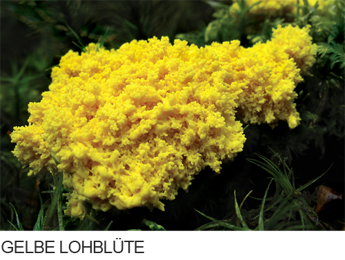 Gelbe Lohblüte Bilder, Fotos, Pilze