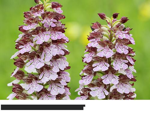 Purpur Knabenkraut, Bilder, Fotos, Orchideen,