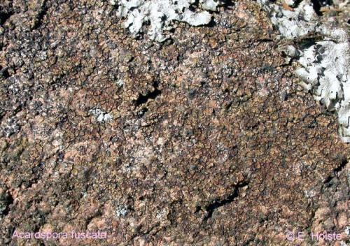 Acarospora fuscata (Schrader) Th. Fr.